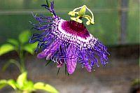 Passiflora Anke