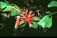 Passiflora Stradivarius