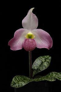 Paphiopedilum vietnamense