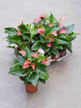 Anthurium and. joli