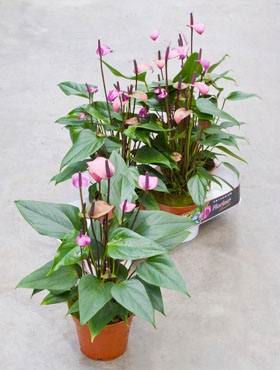 Anthurium and. fiorino