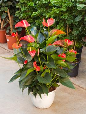 Anthurium and. matiz