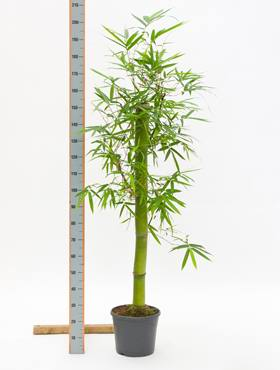 Bambusa green