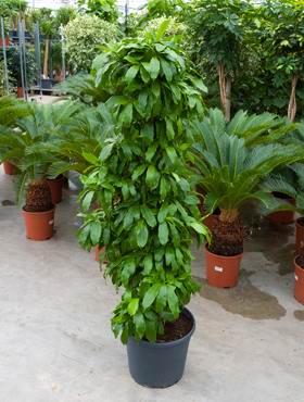 Dracaena pubescens