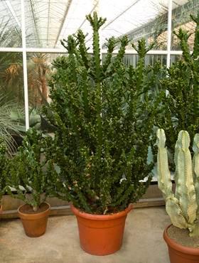Euphorbia mayuranathanii
