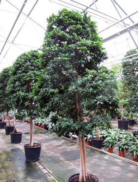 Ficus fibrosa  stam- pyramide