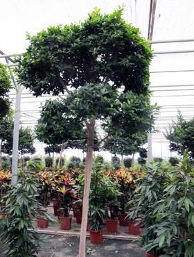 Ficus fibrosa