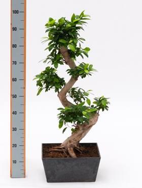 Ficus microc. comp