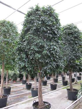 Ficus midnight lady