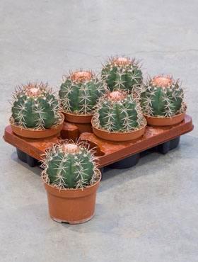Melocactus behaiensis