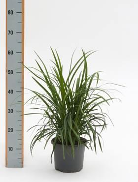 Ophiopogon japonica