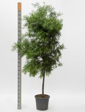 Podocarpus gracilor