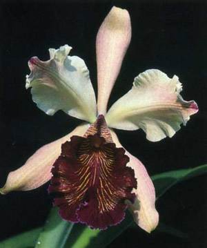 Cattleya dowiana