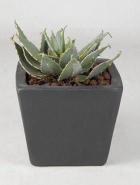 8ALOPLG10 Aloe plant
