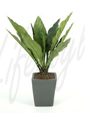 8ANJKTY10 Anthurium jungle king