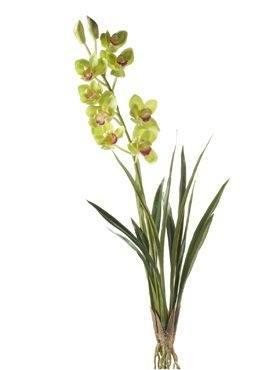 8CYM20588 Cymbidium plant