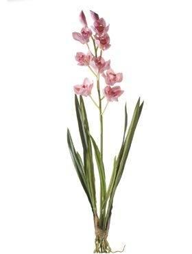 8CYM20590 Cymbidium plant