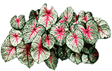 Caladium x hortulanum 'White Queen'