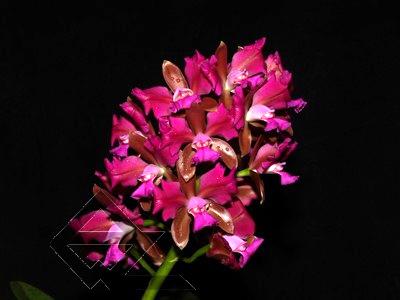 Cattleya leopoldii trilabelo 'Monte Verde' x SELF