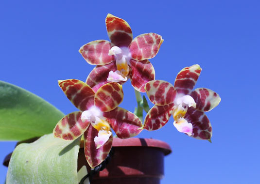 Phalaenopsis amboinensis x Phalaenopsis Penang Girl