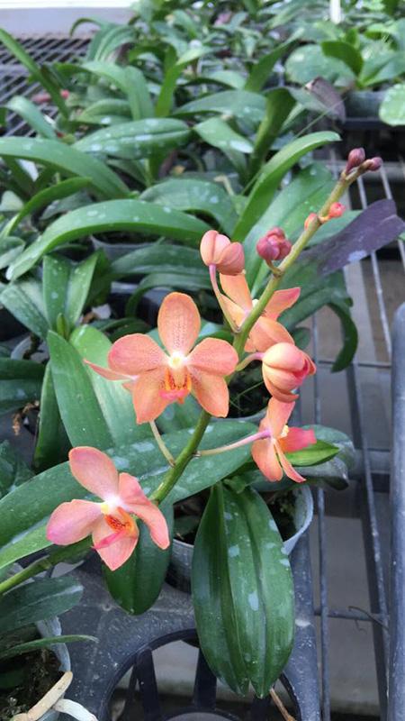 Asconopsis Jiaho's Orange x Rhynchostylis coelestis blue