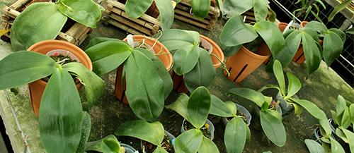 Phalaenopsis Mok Choi Yew '1723'