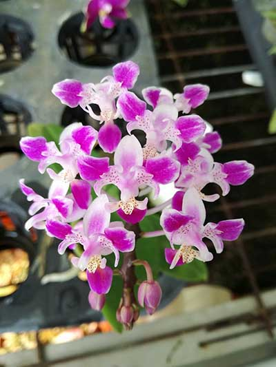 Phalaenopsis equestris peloric 'Joseph Wu'