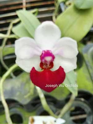 Phalaenopsis Anna-Larati Soekardi 'Joseph Wu'