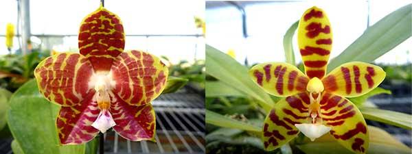 Phalaenopsis Magnificent Mibs 'Mituo #3' x Corona 'M-1'