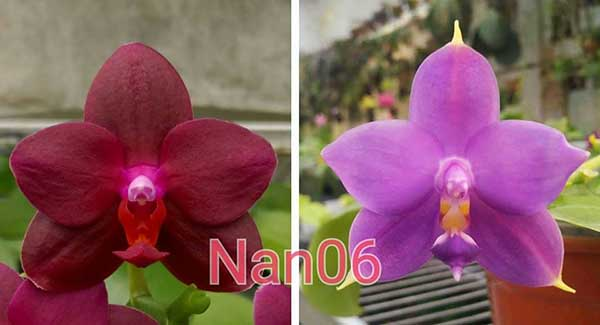 Phalaenopsis Chienlung Puple Rose