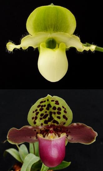 Paphiopedilum primulinum x henryanum