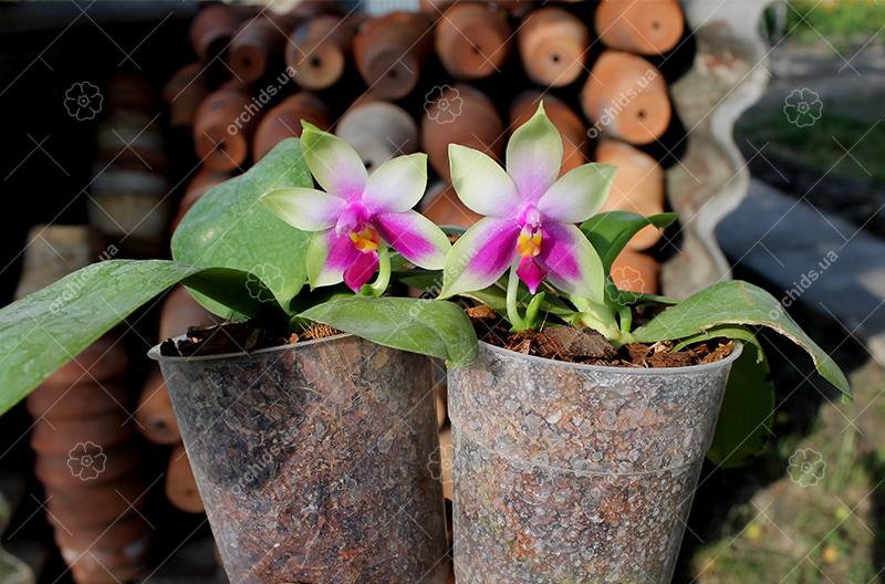 Phalaenopsis bellina AL