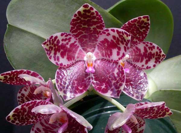 Phalaenopsis gigantea 'Meir #1' HCC/AOS