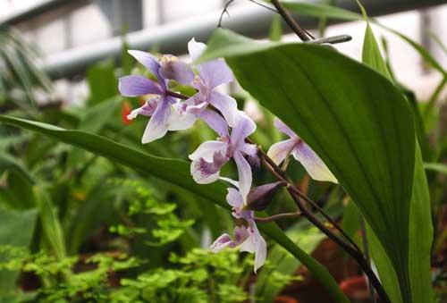 Acacallis cyanea x Paradisanthus micranthus
