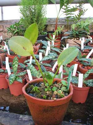 Орхидея Acianthera casapensis тенелюбивая миниатюрная орхидея