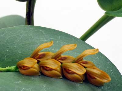 Цветки орхидеи Acianthera casapensis мелкие, горчичного цвета, цветонос появляется из основания листа. Распустившиеся цветы как будто лежат по центру листочка в ложбинке.