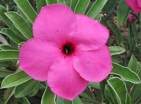 Adenium Chalking Pink