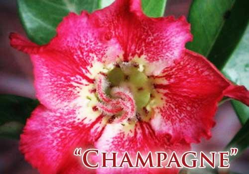 Adenium Champagne