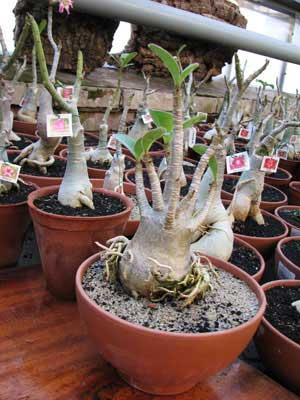 Adenium dwarf bonsai