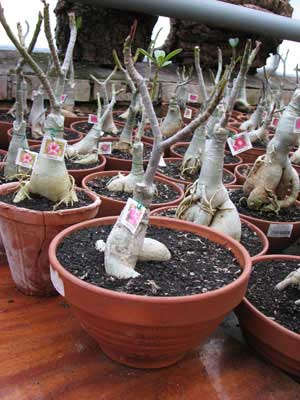Adenium Harry Potter