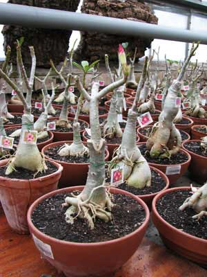 Adenium Large Moonlight