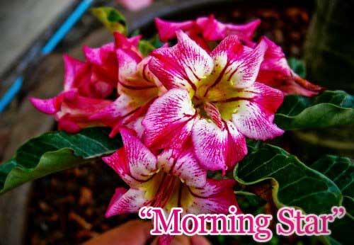 Adenium Morning Star
