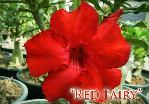 Adenium Red Fairy