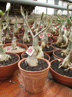 Adenium Red Harry
