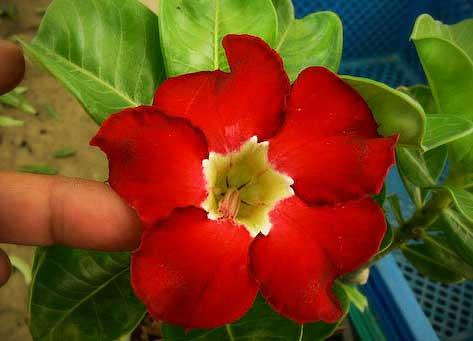 Adenium Red Janzen