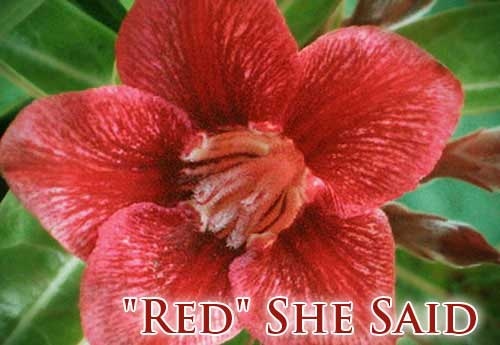Adenium Red She Said