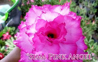 Adenium Siam Pink Angel