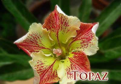 Adenium Topaz