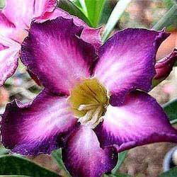Adenium Ultra Violet