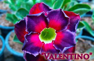Adenium Valentino